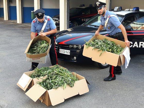 Coltivazione da 13 chili di marijuana lungo il fiume Oglio: tre fermati