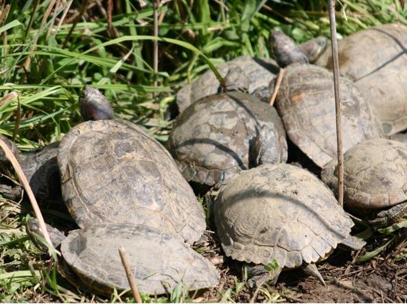 Allevamento abusivo di tartarughe rarissime una denuncia for Incubatrice per tartarughe